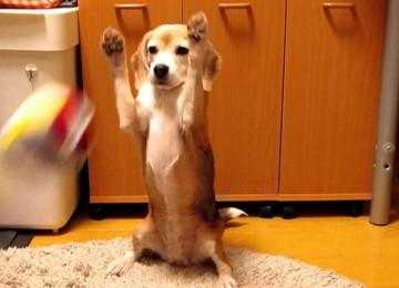 Beagle is een goede keeper
