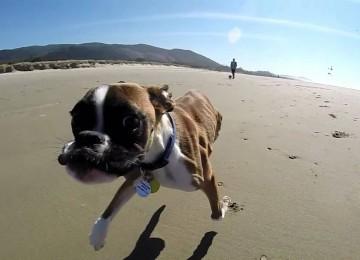 Boxer Met Twee Poten Gaat Naar Het Strand