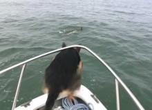 Duitse Herder Zwemt Met Dolfijnen