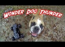 Engelse Bulldog Is Gek Op Bestuurbare Auto