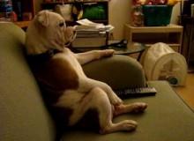 Engelse Bulldog kijkt graag TV
