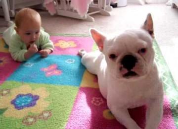 Franse Bulldog leert Baby Kruipen