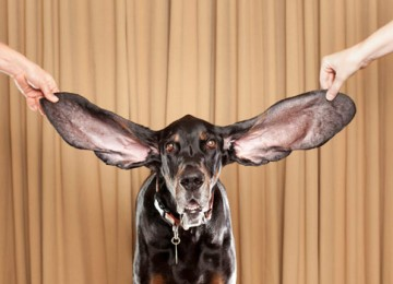grootste oren hond