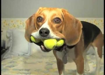 Hond met 4 tennisballen tegelijk: een wereldrecord?