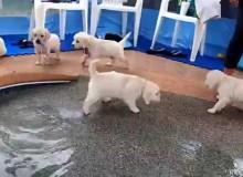 Puppies Gaan Voor Het Eerste Zwemmen
