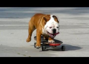 Skateboardende Bulldog