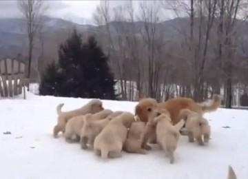 9 Golden Pups Genieten Van De Sneeuw