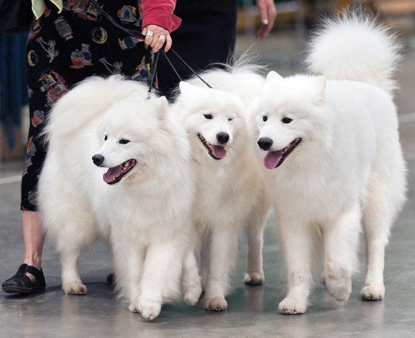 allergie voor honden