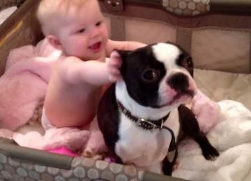 Boston Terrier Wil Niet Uit Het Kinderbed
