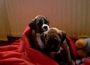 Boxer puppies proberen wakker te blijven …