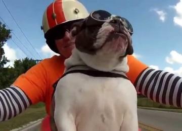 Bulldog Op Scooter Zwaait Naar Tegenligger