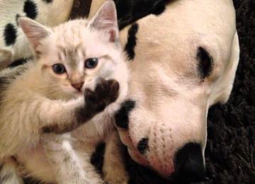 Jong Poesje Knuffelt Met Dalmatiër