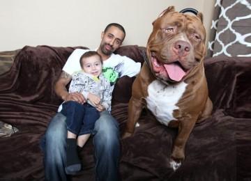 Pitbull Van 80 KG: Waakhond en Familiehond