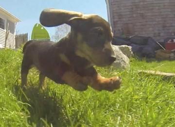 Teckel Puppies Zijn Schattig
