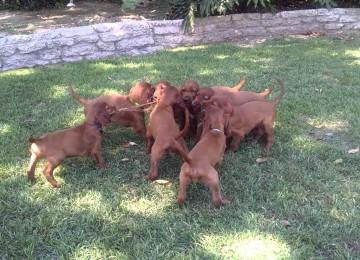 1 Stok, 8 Puppies