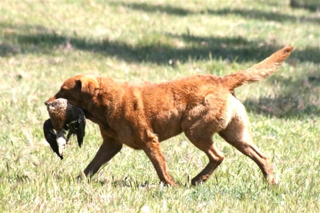 Chesapeake Bayretriever