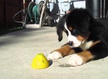 Berner Sennen Puppy vs. Limoen