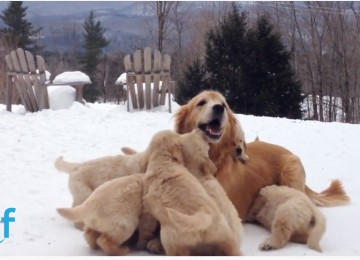 Golden Retriever Mama Hond Speelt Met Puppies In De Sneeuw