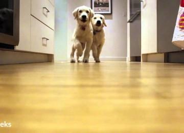 Timelaps: Golden Puppies Rennen Naar Hun Eten