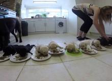 10 Labrador Puppies Eten Voor De Eerste Keer