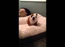 Engelse Bulldog Geniet Van Zijn Nieuwe Bed