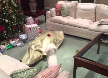 Hond Pakt Baasje Uit Voor Kerst