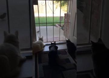 Katten kijken naar de vogels, Hond besluit ze is goed te laten schrikken!