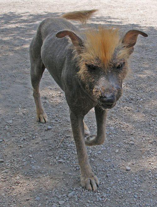 Peruaanse naakthond