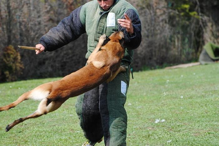mechelse herder