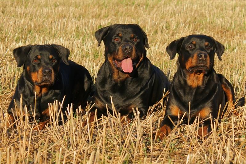 Rottweiler - duits hondenras