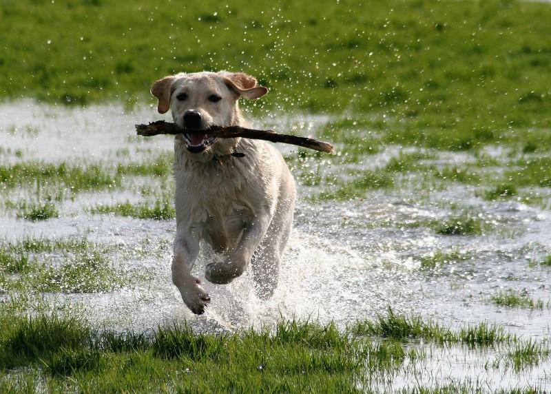 labradors dragen graag iets in de bek