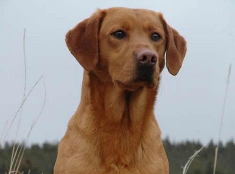 50a81675f2cb63 Labrador Retriever - 14 Weetjes over het populairste hondenras ter ...