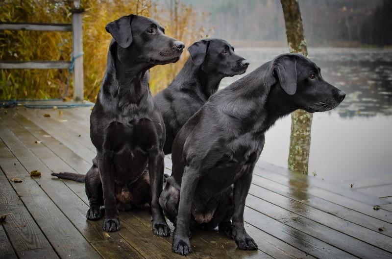 e5843a35a5084b De labrador is een jachthond gefokt voor wild te water. Na het schieten van  het wild (eenden