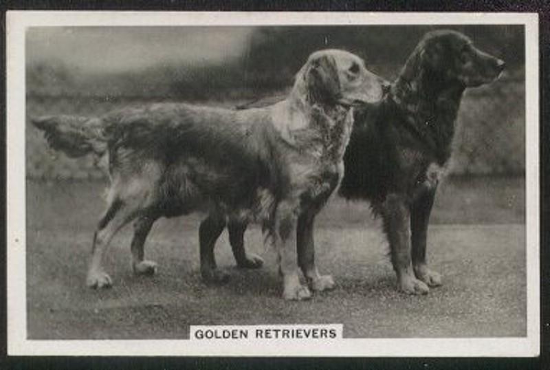 geschiedenis van de golden retriever