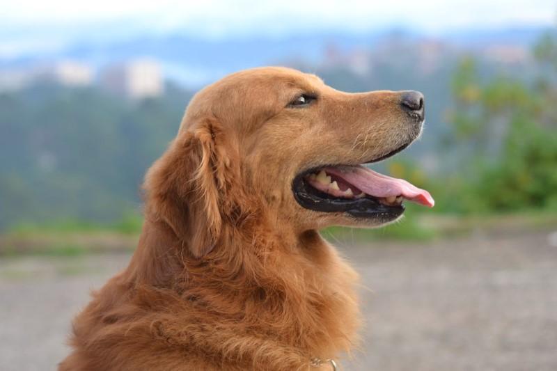 golden retriever is een slim hondenras