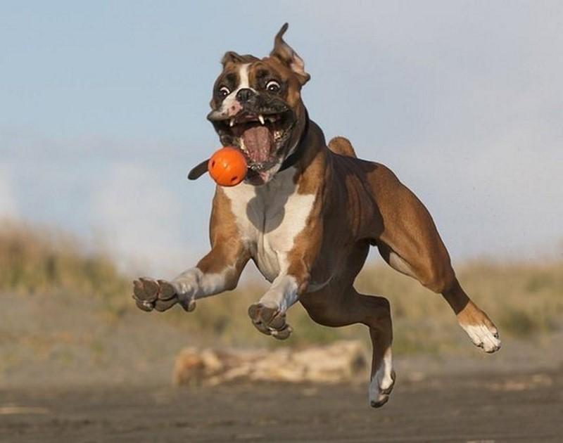 speelse boxer 2