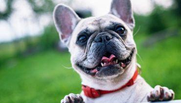 blije franse bulldog