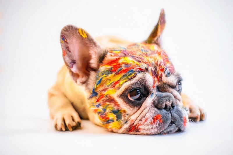 franse bulldog in drie kleuren