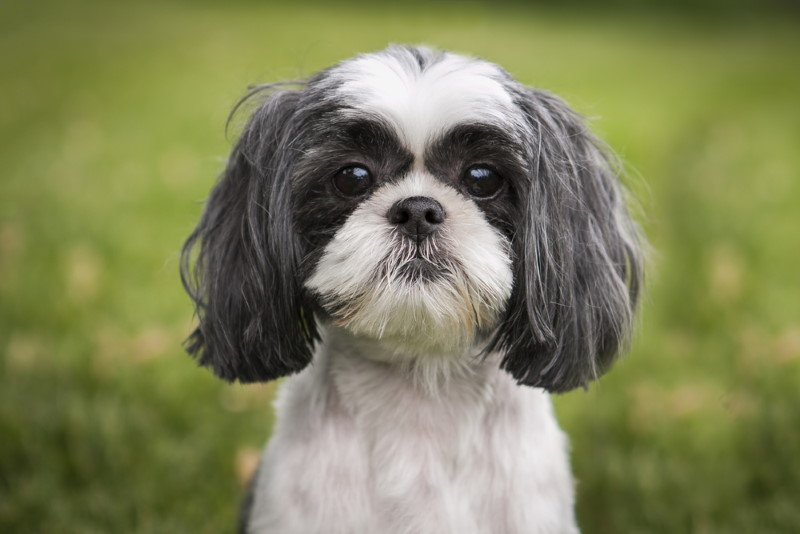 Shih Tzu oud hondenras