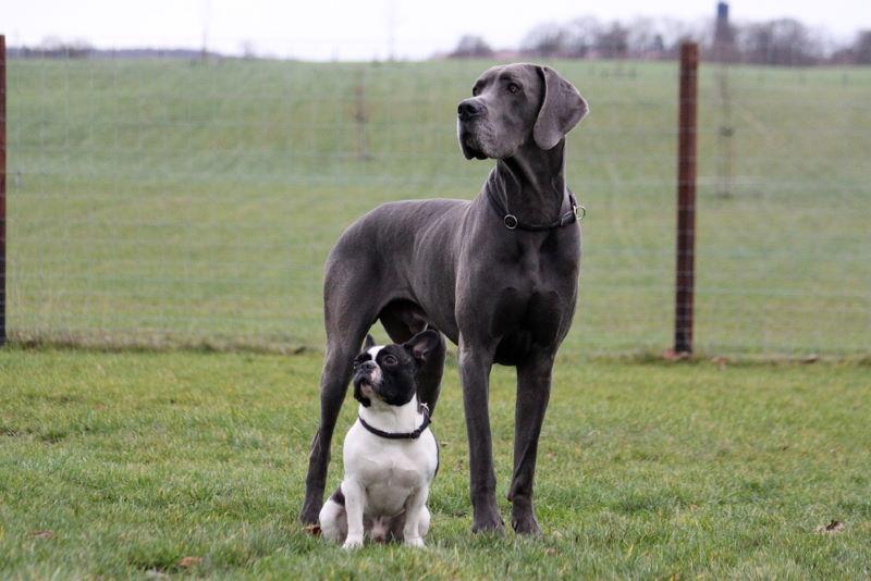 hoge hond