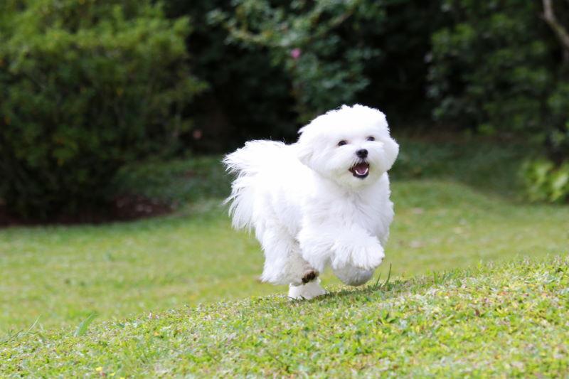maltezer hond