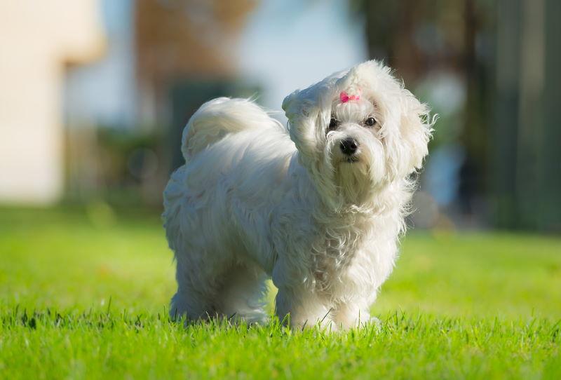 maltezer pup