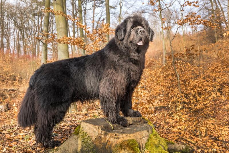 grote hond