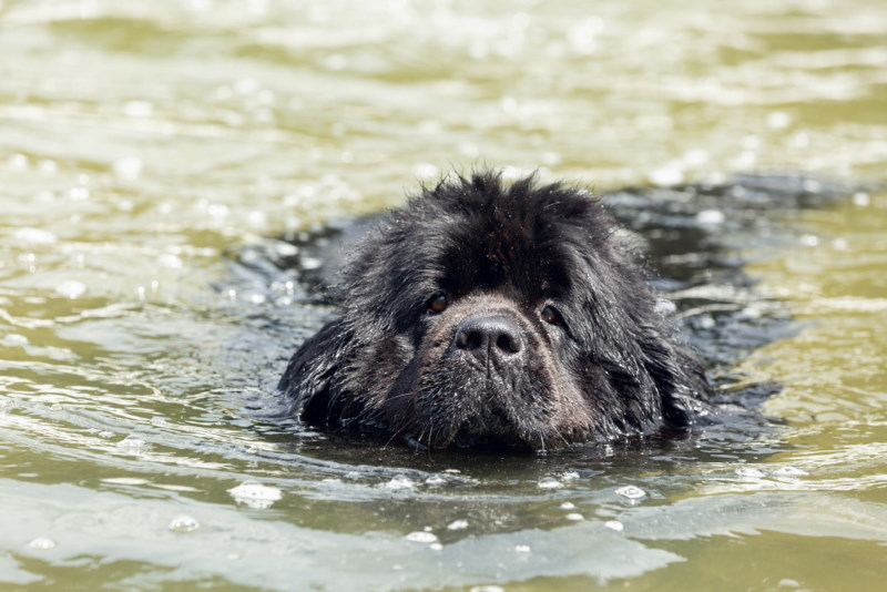 newfoundlander zwemmen